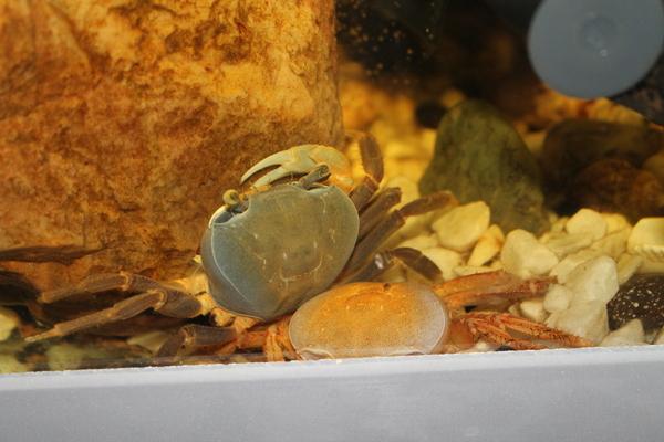 Радужные Крабы. Эксперимент часть 3 Радужные крабы, Аквариум, Длиннопост