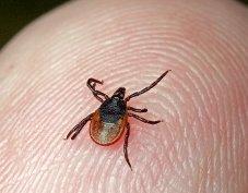 Клещи, комары и прочие кровопийцы. Наступившего тепла пост. Клещ, Клещевой боррелиоз, Клещевой энцефалит, Лето, Предупреждения, Длиннопост