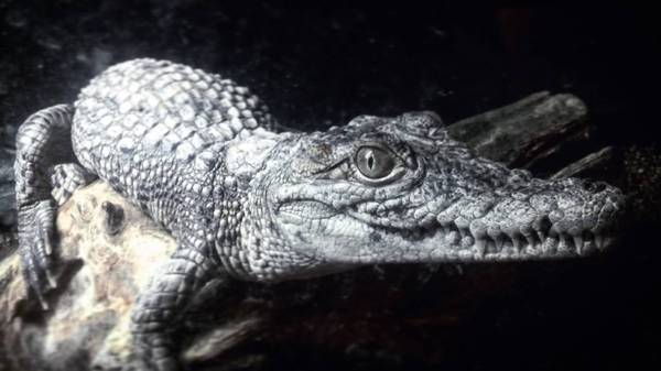 Зубастая крошка Томск, Крокодил, Зубастик