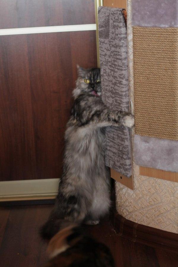 Когда очень понравилась новая точилка для когтей кошка и кот, кошачья мята, длиннопост, кот