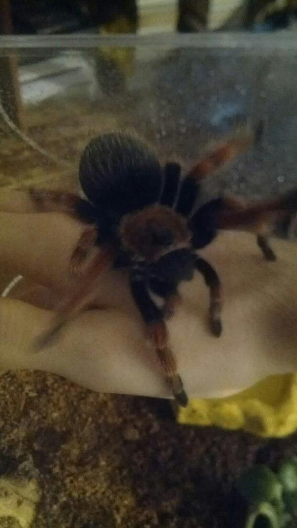 Пересадка паука-птицееда. Очень длиннопост. Для терпеливых. паук, паукообразные, Пауки-птицееды, террариум, террариумистика, арахнофобия, длиннопост
