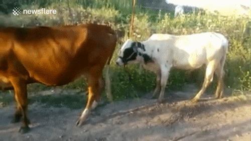 Не удалось замутить с тёлкой :( Корова, Бык, Гифка, Неудача, Провал