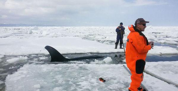 Спасатель рассказал подробности освобождения косатки: «В какой-то момент кит заплакал» Россия, Сахалин, Косатка, мчс, стихия, Помощь, лёд, видео, длиннопост
