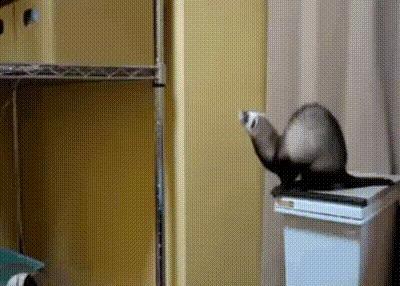 А как вы думаете через какое время он таки решится прыгнуть? Хорек, imgur, гифка