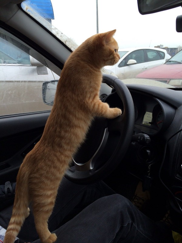 Без кота и жизнь не та Кот, Друг, Животные, Британский кот, Длиннопост