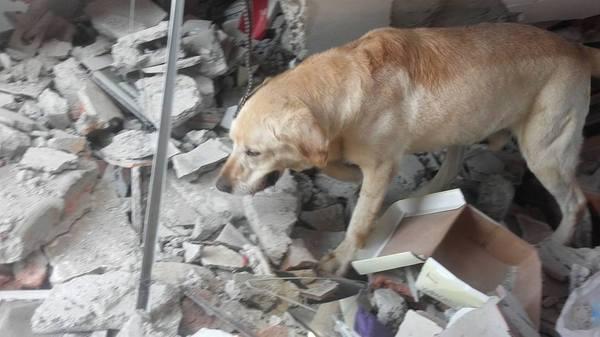 Пес в Эквадоре спас 7 человек из-под завалов, после чего умер от изнеможения эквадор, землетрясение, Собака, герой, длиннопост