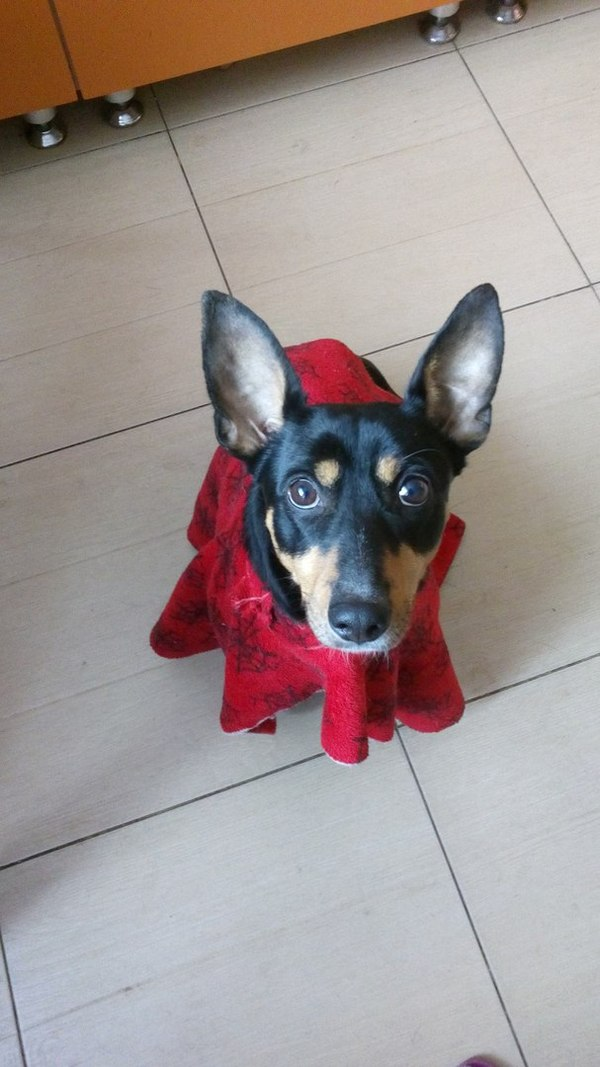Любимое одеялко Собака, Одеяло, Viber, Фото, Кривые руки, Длиннопост