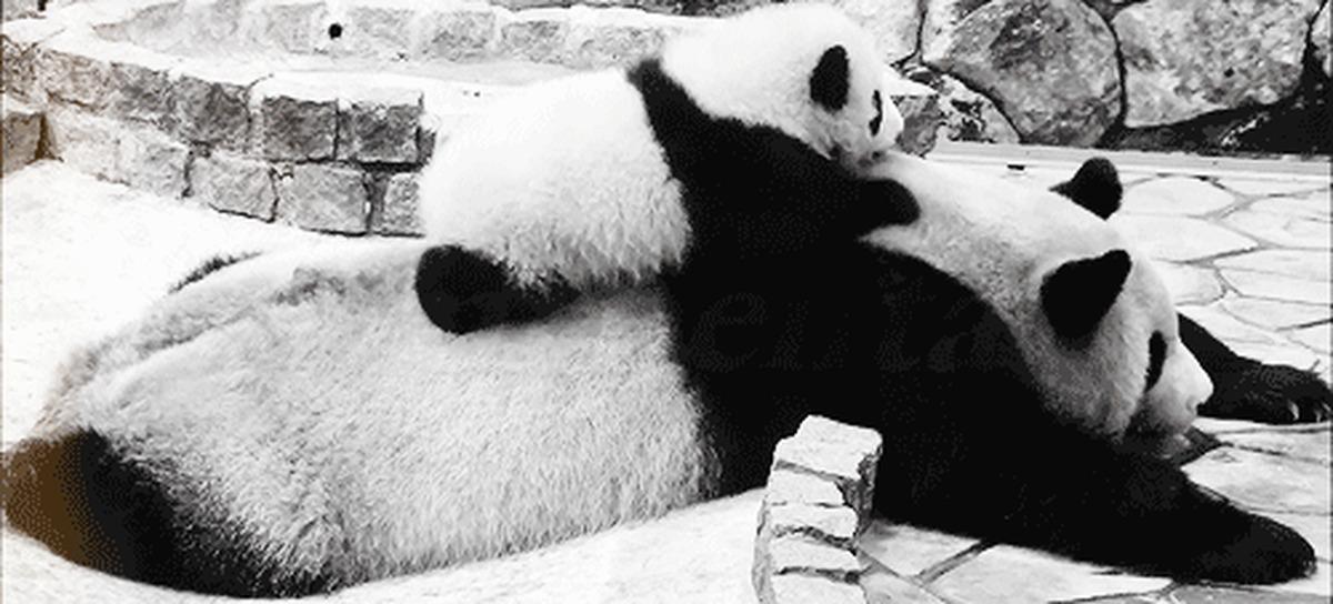 Открытки бумаги, гифки с пандами смешные