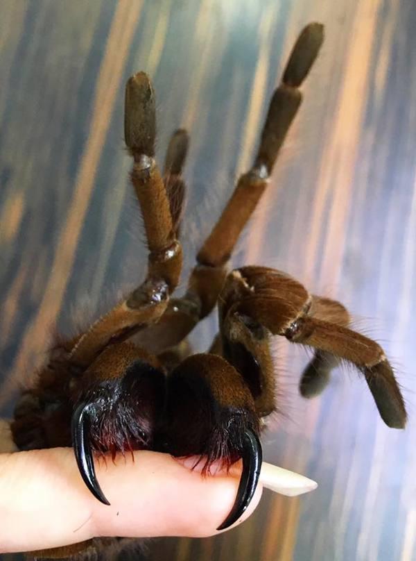 Клыкастый паук Арахнофобия, Паук, Членистоногие, Беспозвоночные, Пауки-Птицееды