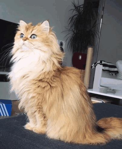 Самая фотогеничная кошка интернета Кот, Смузи, Smoothie, Британская длинношерстная, Гифка, Длиннопост
