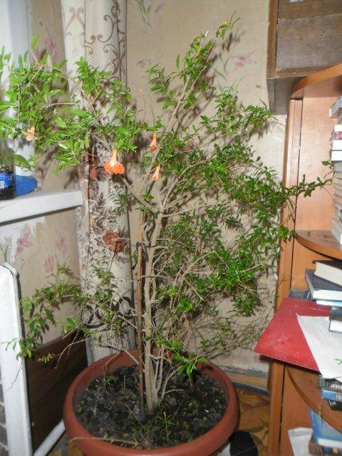 Гранат на волоске от смерти Гранат, деревья, экзотика, длиннопост