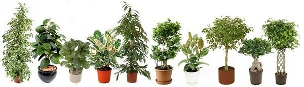 Комнатные растения. Фикусы Фикус, Комнатные растения, Растения, Длиннопост