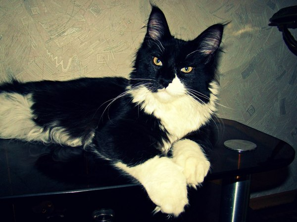 От мимишки до брутала. Кот мейн куна с 1 месяца до года) Мейн-Кун, Кот, Добрый, Гигант, Длиннопост
