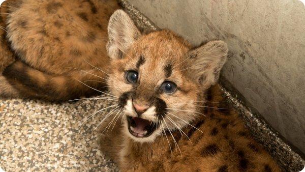Детёныш пумы кот, пума, Фото, орегон, Штат Орегон