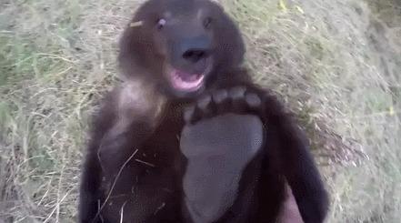 Играя с мишкой Медведь, Гризли, Лапы, Гифка