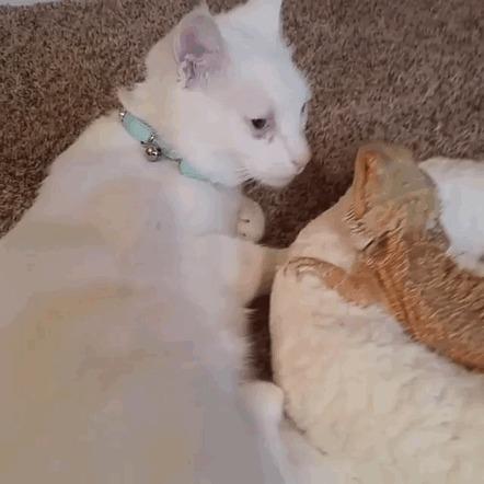 Друзья - кошка и ящерица =) Кот, Ящерица, Дружба, Гифка, Длиннопост