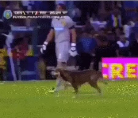 Пес наглядно показал, что он думает об этом матче Футбол, Животные, Собака, Смешное, Фекалии, Жесть, Шакалы, Гифка
