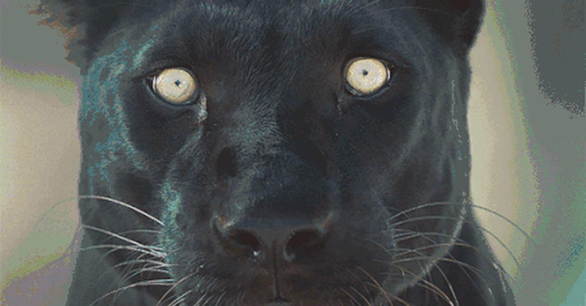 Гифка пантера, днем спасателя