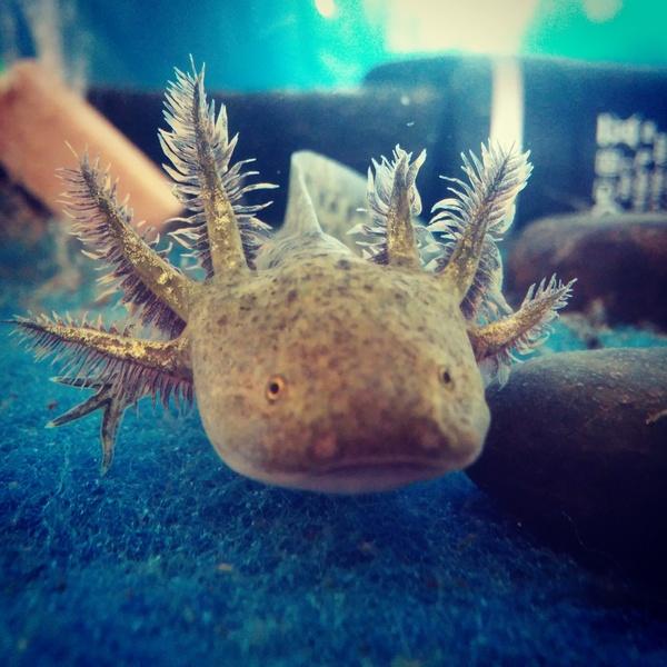 Малек аксолотля Аксолотль, аквариума, экзотика, аквариумистика, малек