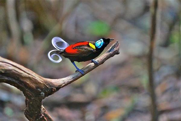 Синеголовая райская птица птицы, экзотика, Природа