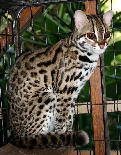 бенгальская кошка дикая