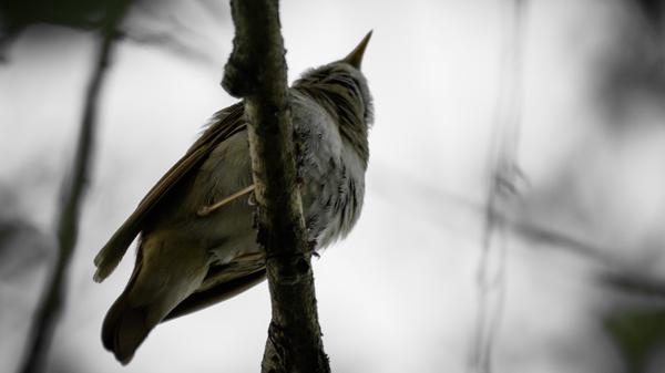 Немного пернатых вам в этот будний день. Птицы, Фото, Зяблик, Соловей, Воробей, Скворец, Длиннопост