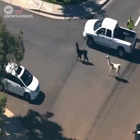 Полиция ловила двух лам около 20 минут