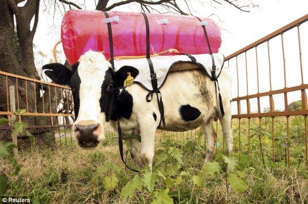 Секс живой коровой