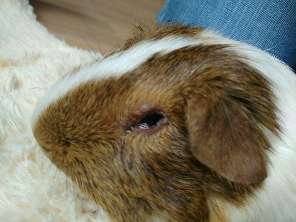 Обладатели морских свинок, ветеринары, прошу о помощи Морская свинка, конъюктивит, болезнь, совет, животные, длиннопост