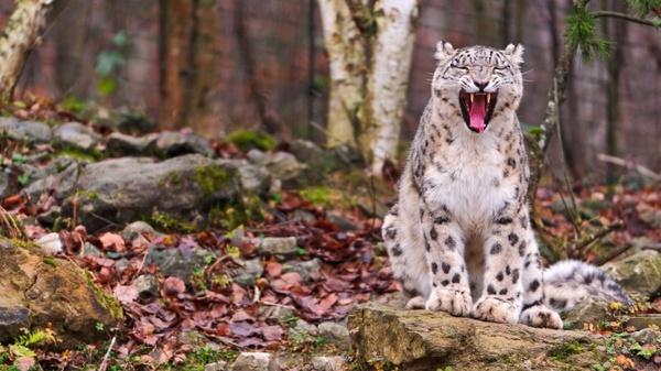 Запятнанная честь Пятно, Снежный барс, Леопард, Ягуар, Животные, Длиннопост