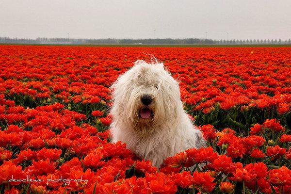 Софи и Сара в Голландии Голландия, Нидерланды, Бобтейл, Овчарка, Цветы, Фото, Природа, Животные, Длиннопост