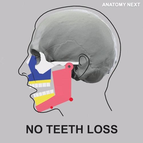 Потеря зубов и выступающий подбородок наука, анатомия, зубы, челюсть, потеря, Интересное, гифка