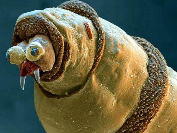 Просто личинка навозной мухи в увеличении
