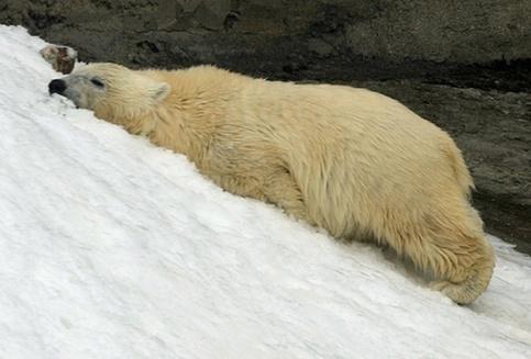 Снежная пушка спасает от жары медведей из столичного зоопарка