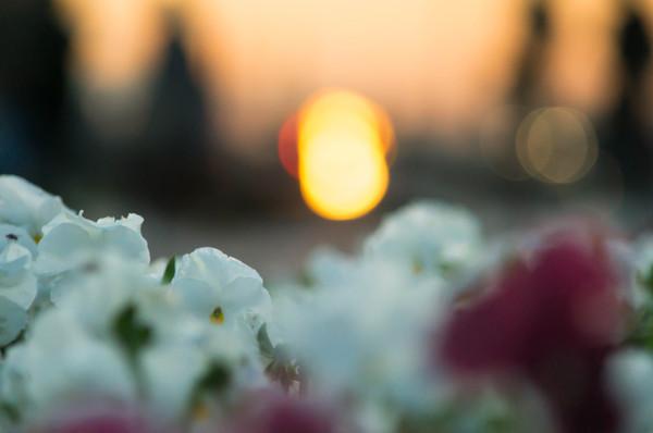 Вечер в центре Санкт-Петербурга Фото, Санкт-Петербург, Парк, Цветы, Закат, Вечер, Ночь