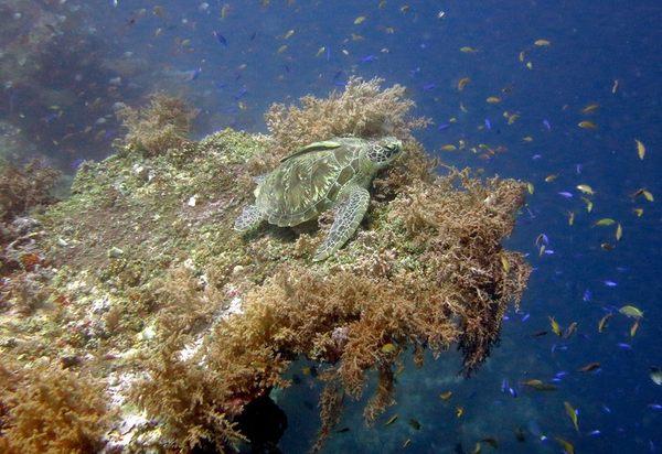 Подводный мир о-ва Баликасаг, Филиппины, май 2016 подводная съемка, филиппины, морские змеи, креветка-чистильщик, голожаберные моллюски, морские обитатели, длиннопост