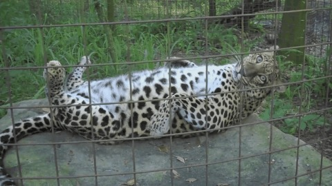 Дурацкий леопард