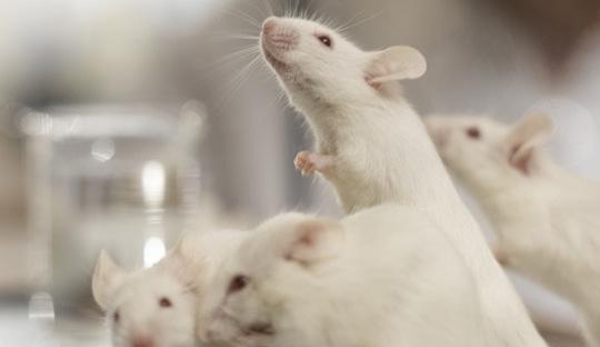 Новости биологии: Мышам стёрли память, «выключив» ген наука, биология, эксперимент, мышь, нейроны, воспоминания, длиннопост
