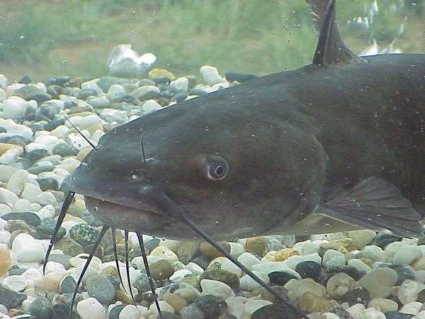 Рязанец во время подводной охоты принял москвича за сома и застрелил сом, убийство, Река, москвич, рязанская область