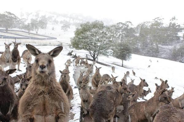 В Австралии выпал снег. кенгуру в шоке