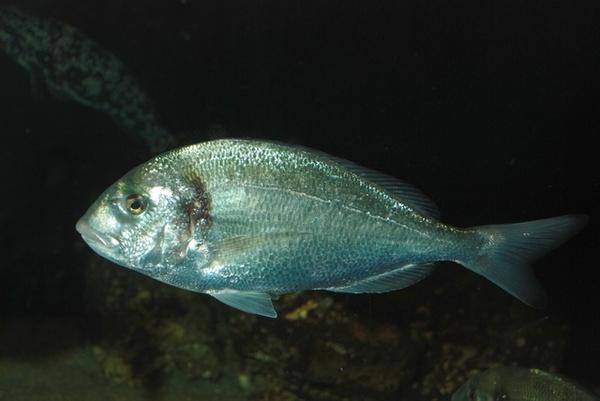 Челюсть Золотого Спара (Дорадо) рыба, рыбалка, челюсть, дорадо, морская рыба, зубы
