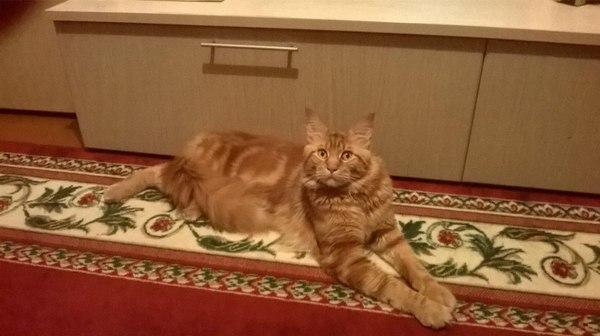 Потерялся кот, нужна информация! Тамбов, Кот, Потерялся, Или, Сбежал, Помощь