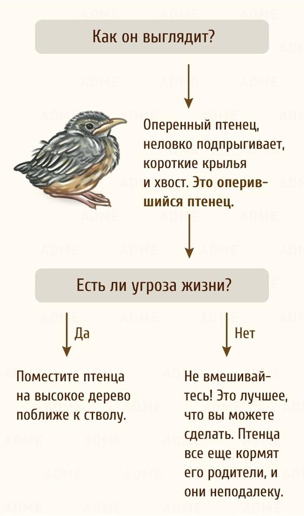 Краткое пособие по тому, что делать, если вы нашли птенца. Adme, Птицы, Длиннопост