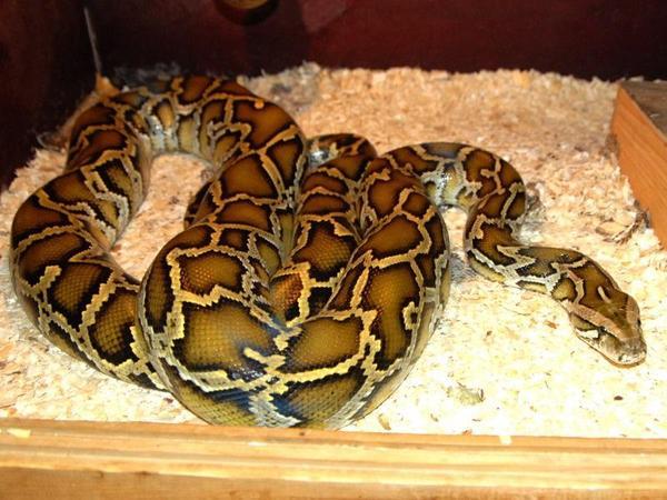 Рассказ как змея поимела меня фото 29-210