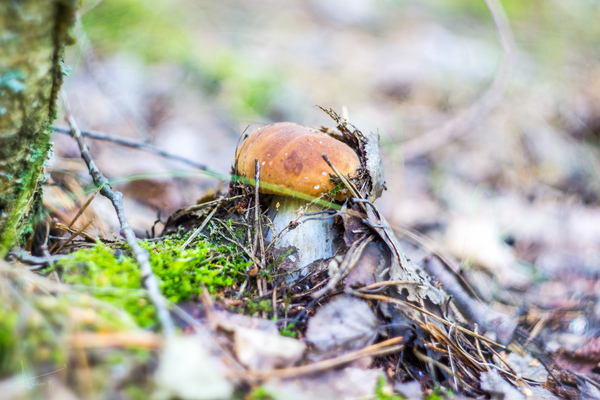 А у нас грибочки пошли. грибы, лес, фото, Гелиос44м-7, Nex7, Россия, черника, галоши