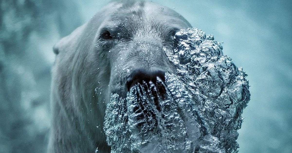 качественное фото белый медведь под водой можно работать