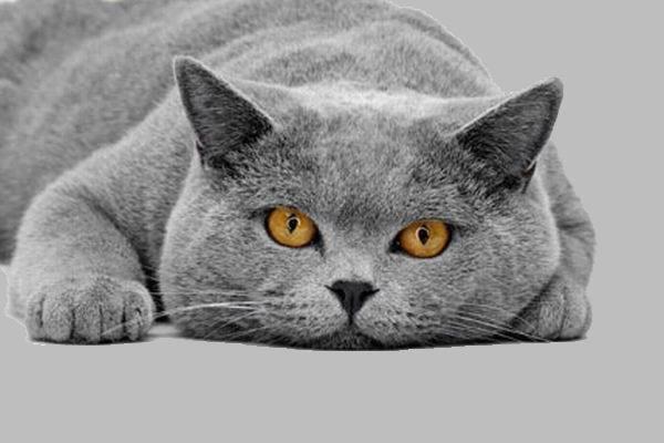 коты британские