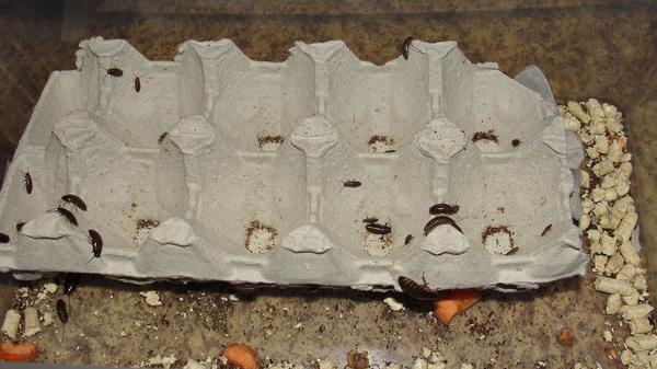 Тараканьи бега Насекомые, Мраморный таракан, Тараканьи бега, Муравьи, Видео, Длиннопост
