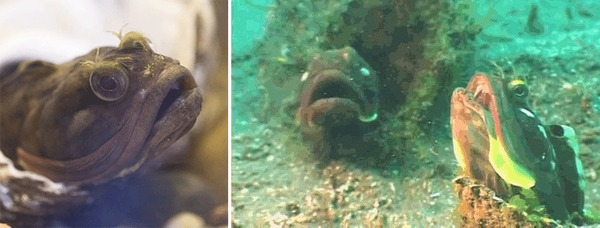 Эволюция wtf_evolution, щучья морская собачка, гифка