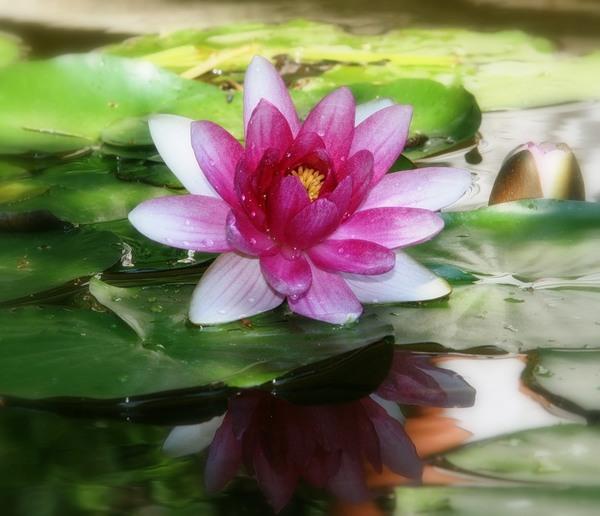 Красавица озер! Природа, озеро, цветы, кувшинка